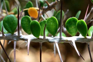 Life among the thorns