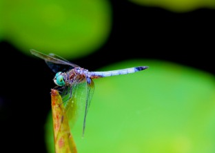 Dragon fly on green