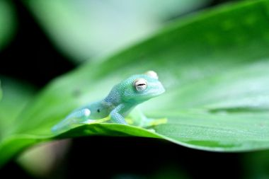 Green frog on green leaf
