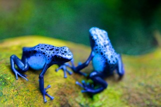 Poisonous frogs