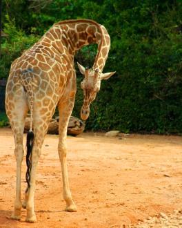 Mama giraffee