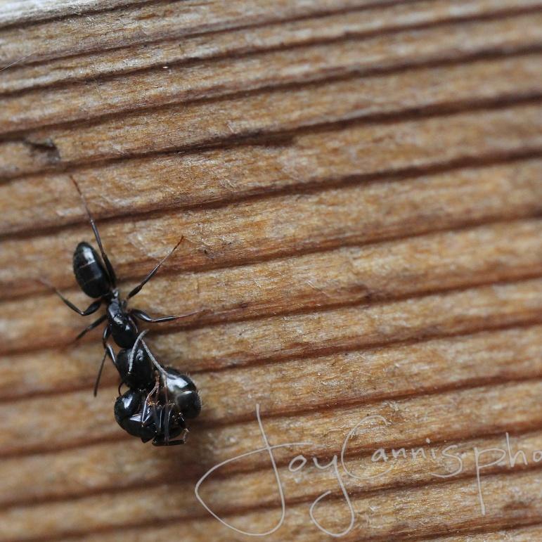 Samaritan Ant